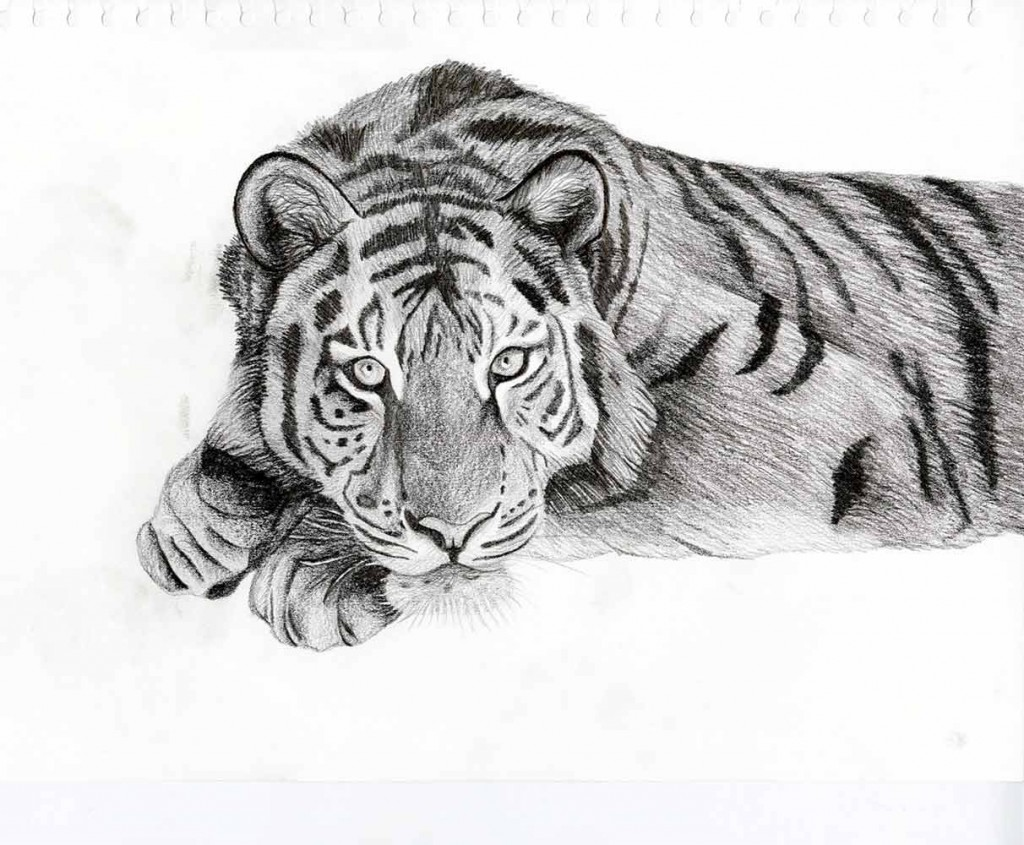 Tiger-drawing
