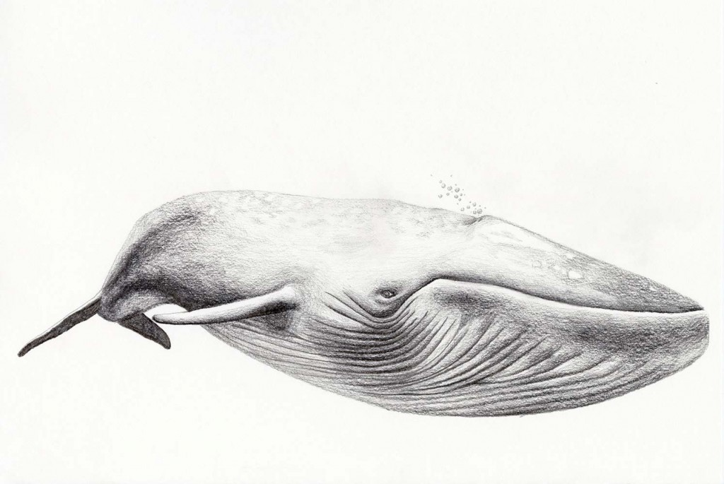Whale-drawing